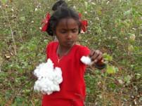 コットン畑で作業をするインドの女の子