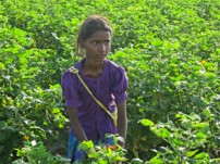 コットン畑で働く7~8割が女の子です