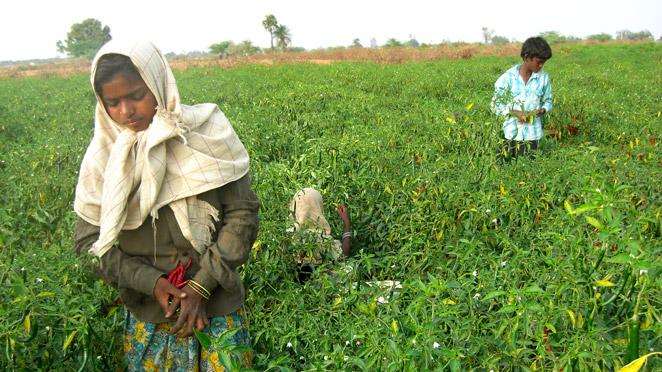 トウガラシの収穫をしているインドの子どもたち