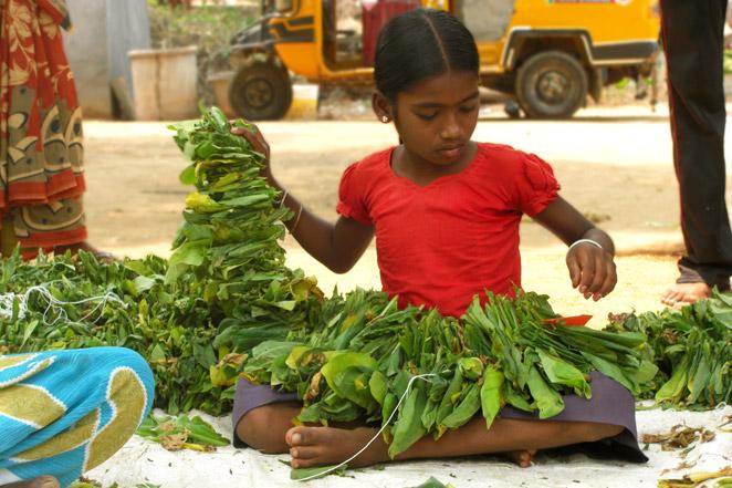 学校を中退してタバコの葉の乾燥させているインドの女の子