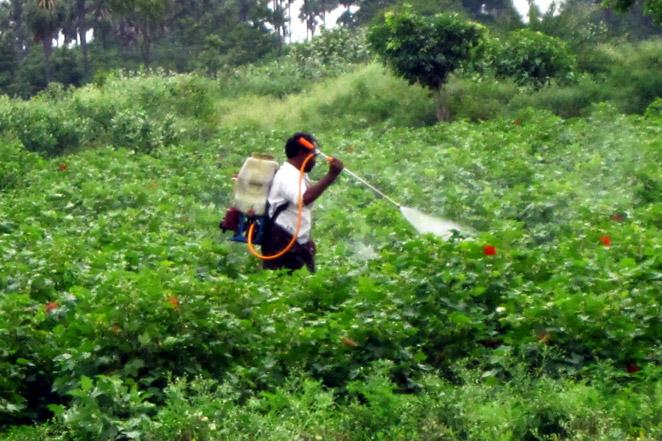 コットン畑に大量の農薬を散布する作業風景