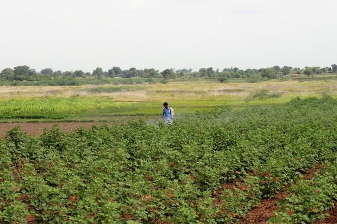 必要な装備を身につけずに、農薬をスプレーでまくコットン農家