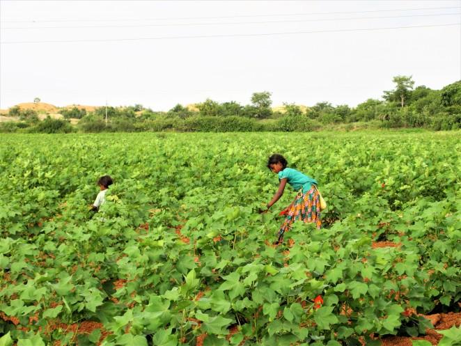 コットン畑で働く子ども