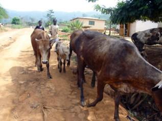 炎天下の中一日中牛の放牧をさせられている人身売買で連れてこられた二人