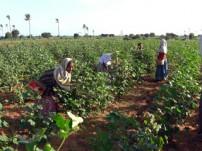 コットン畑での児童労働