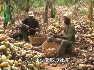 DVD「おいしいチョコレートの真実」チャプター2「カカオ生産の様子」収穫作業の様子、子どもが行う作業