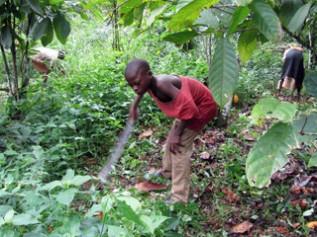 ガーナ・カカオ畑で下草刈りをする子ども