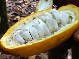 カカオポッド(実)を割ると中には果肉につつまれたカカオの豆が