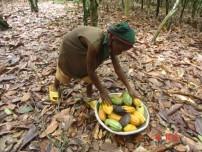 ガーナのカカオ畑で働く子ども