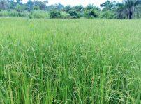 栽培されている稲